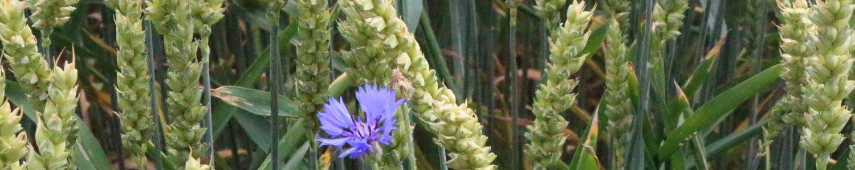 violette Blume auf Wiese